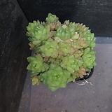 옵튜사 58|Haworthia cymbiformis var. obtusa