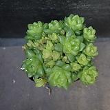 옵튜사 61|Haworthia cymbiformis var. obtusa