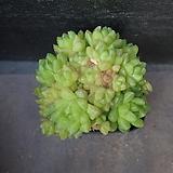 옵튜사 62|Haworthia cymbiformis var. obtusa