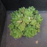 옵튜사 64|Haworthia cymbiformis var. obtusa