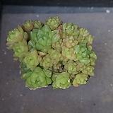 옵튜사 65|Haworthia cymbiformis var. obtusa