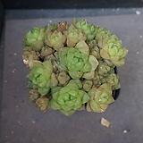 옵튜사 66|Haworthia cymbiformis var. obtusa