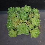 옵튜사 67|Haworthia cymbiformis var. obtusa