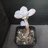아마조네스(목대) 69|Graptopetalum Amazones