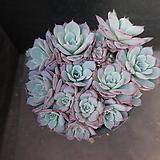 아우렌시스(대) 78|Echeveria Laulensis