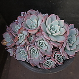 아우렌시스(대) 79|Echeveria Laulensis