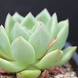 킹덤-5-1528|Echeveria agavoides Kingdom