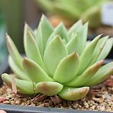 소후렌-5-2061 Echeveria agavoides Prolifera
