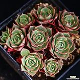 환엽롱기시마 6|Echeveria longissima