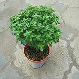 바질트리/공기정화식물/외목대 