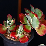 특대품 당인금 자연군생 1|Kalanchoe thysifolia