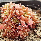 리틀쨈5192 Cremnosedum Little Gem (Crassulaceae)