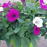 이색샤피니아꽃 공기정화|