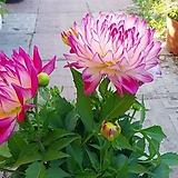 연꽃 다알리아 꽃 월동|