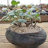 미라블 아프리카식물