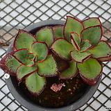 롱기시마_w9|Echeveria longissima