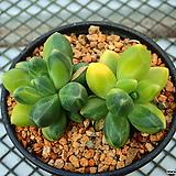 천대전송 금_w148|Pachyphytum compactum