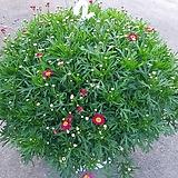 빨강목마가렛꽃 공기정화|Echeveria halbingeri