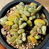 아드레미쳐스 40-406 Adromischus Hemisphaericus