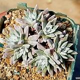 화이트그리니(자연군생) 40-430 Dudleya White gnoma(White greenii / White sprite)