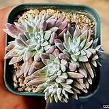 화이트그리니(자연군생) 40-454 Dudleya White gnoma(White greenii / White sprite)