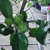 애기사과나무 주렁 공기정화월동되는아이|