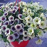 이색샤피니아꽃공기정화|