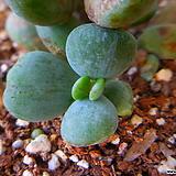 호피복랑금자구컷팅 550 Cotyledon orbiculata cv variegated