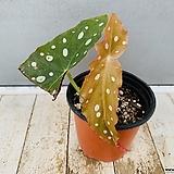머큘라타베고니아 (동일품배송)|Begonia