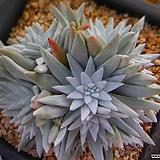 화이트그리니자연군생12두이상 121 Dudleya White gnoma(White greenii / White sprite)