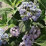 별수국/산수국/노지월동/화단|Hydrangea macrophylla
