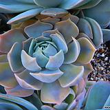 릴리시나복륜금&생얼군생한몸 1394 Echeveria lilacina
