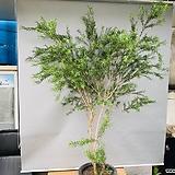 티트리나무 (수형멋진 키큰외목 특대품입니다)|