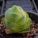 기간티아 521-2191 Greenovia diplocycla var.gigantea
