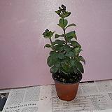 나비수국 Hydrangea macrophylla