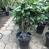 녹보수 신종 공기정화식물 인기식물|happy tree