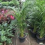 아레카야자 공기정화대표식물키약150-160|