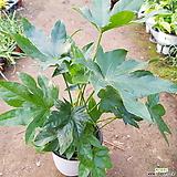 팔손이나무(공기정화식물) 