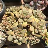 자연군생 홍포도|Graptoveria Ametum