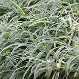 흰줄무늬 대사초(5개묶음)  / 그라스 / 야생화 / 노지월동 / 주말농장 / 관상용 / 4치포트|