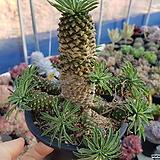 괴마옥 군생 111|Euphorbia hypogaea