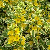 옐로우알렉산더(무늬좁쌀풀)|