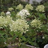 나무수국(여름수국) Hydrangea macrophylla