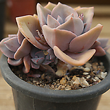 짚시 0520-25|Graptoveria Mrs. Richards