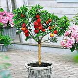꽃사과 분재♥화분에서 키우는 과일나무♥미니사과 애기사과 화분 왜성 사과나무|