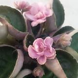 블룸러버스크라운(핑크)미니바이올렛