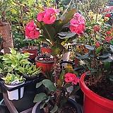 왕꽃기린 대품 핑크|