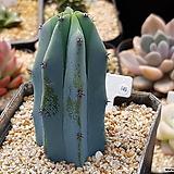 용신목(랜덤상품) 149|Myrtillocactus geometrizans Cons