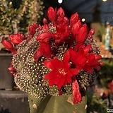 레드파이 붉은꽃이 피는 선인장|