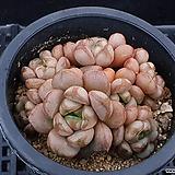 홍포도519|Graptoveria Ametum